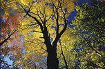 herbstbaum.jpg (8044 Byte)